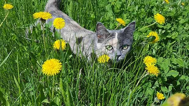 Olive enjoying the cooling of the grass in Grand Marais, Mb. Photo by Maureen Morrish.