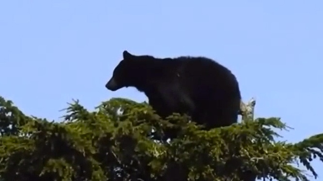 Bear fleeing another up a tree
