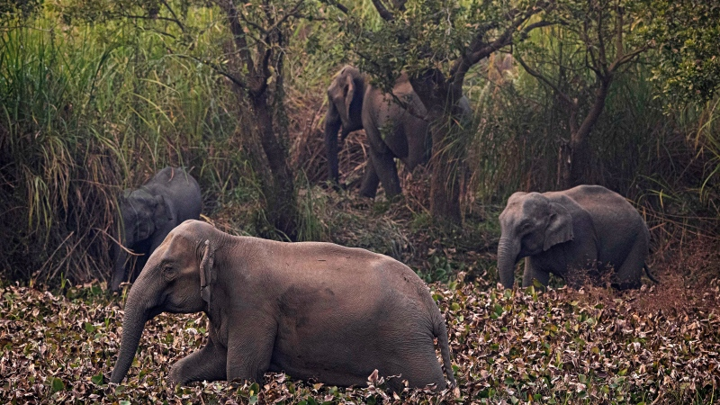 A herd of wild elephant search for food in a forested area near a railway track at Panbari village, on the outskirts of Gauhati, India, Tuesday, Jan. 28, 2020. (AP Photo/Anupam Nath)