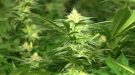 West Nipissing council has voted against a proposed bylaw to force growers to limit the smell of legal cannabis plants. That means you don't have to control the odour coming from your cannabis plants -- at least for now. (File)