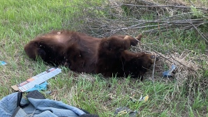 The body of a black bear found in a ditch near Lloydminster. (Angie Atkinson)