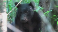 Police issue warning as bears continue to roam CRD