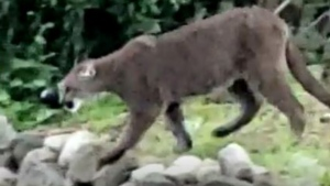 A cougar is seen walking through  a residential area in View Royal, B.C. on June 4, 2020. (Simon Renoize)