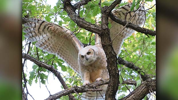 One of the owlets learning to fly. Photo by Tina Rutledge.