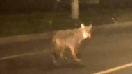 'Aggressive' coyote in Riverside South