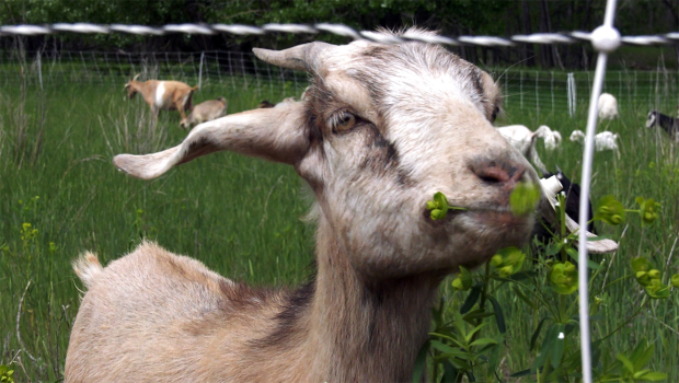 The goats are baaaaack for another summer to deal with invasive weeds