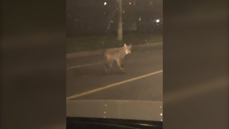 Residents in Riverside South are worried about a coyote that has been attacking walkers, runners, and cyclists throughout the neighbourhood. (Courtesy: Carol Anne Meehan)