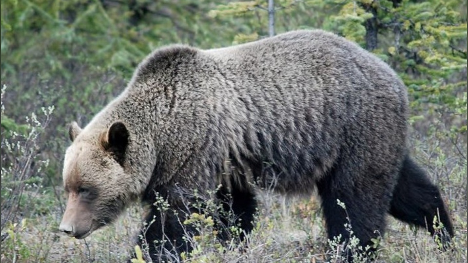 A Grizzly Bear walks through a protected grassland area in this file photo (courtesy of Nature Conservancy Canada).