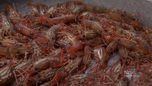 Spot prawn season begins in B.C.