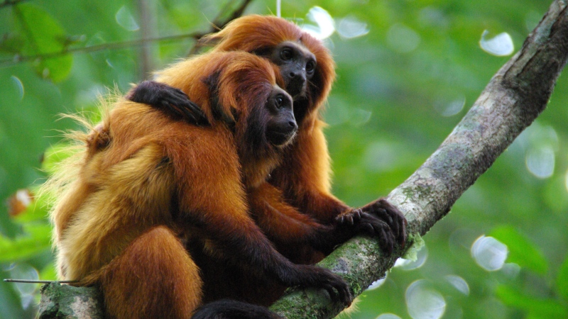 This undated photo provided by AMLD in June 2020 shows endangered golden lion tamarins which live in the wild only in Brazil's Atlantic rainforest. (Andreia Martins/AMLD via AP)