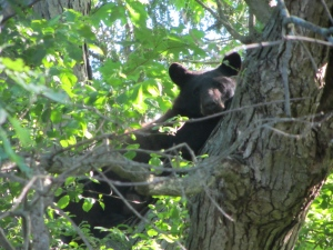 Bear in London, Ont.