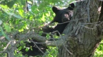 A bear is seen in a tree in London, Ont. on Monday, June 8, 2020. (Source: Sandra Wozniak)