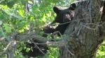 A bear is seen in a tree in London, Ont. on Monday, June 8, 2020. (Source: Sandra Wozniak)