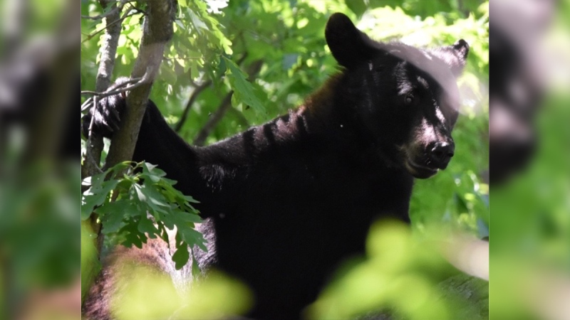 A black bear in a tree in the Byron neighbourhood of London, Ont. is seen Monday, June 8, 2020. (Source: Andrew Henson / Jeff Heussner)