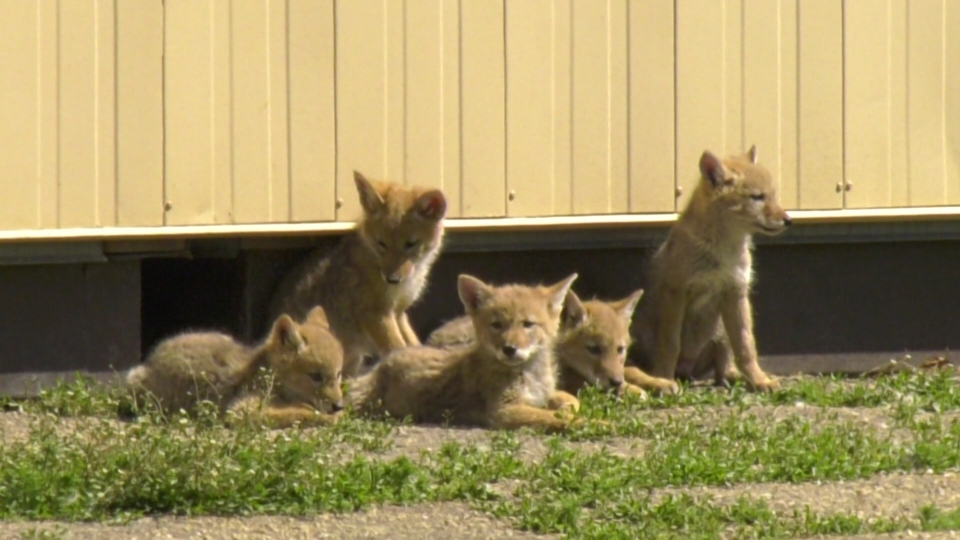 Coyote pups underneath Kameyosek School