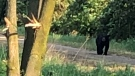 A black bear spotted near Goderich, Ont. on Wednesday, June 10, 2020 is seen in this image released by Huron County OPP.