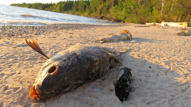 Dead fish have been washing up on the shores around Lake Winnipeg. (Submitted: Geraldine Horbas)