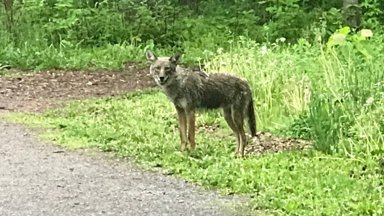 Riverside South Coyote