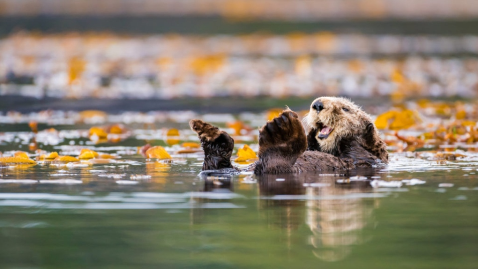 A sea otter in the waters off Vancouver Island. (James Thompson/UBC)