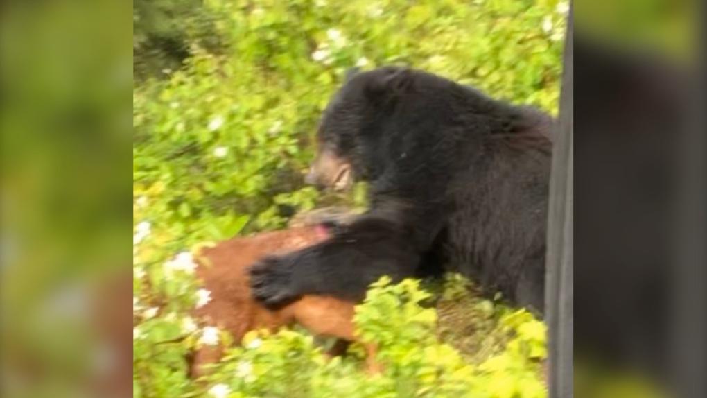 Bear attack B.C.