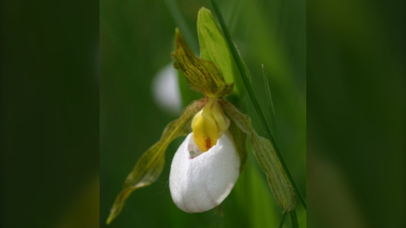 Small White Lady's-slipper. (Source: Anne Worley/ Government of Canada website)