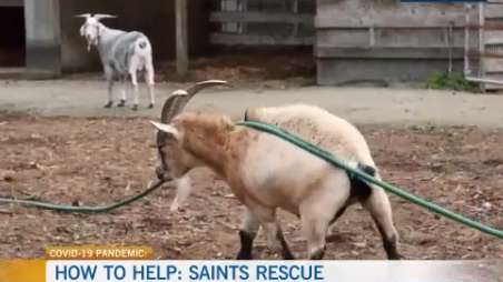 SAINTS rescue, elderly animals