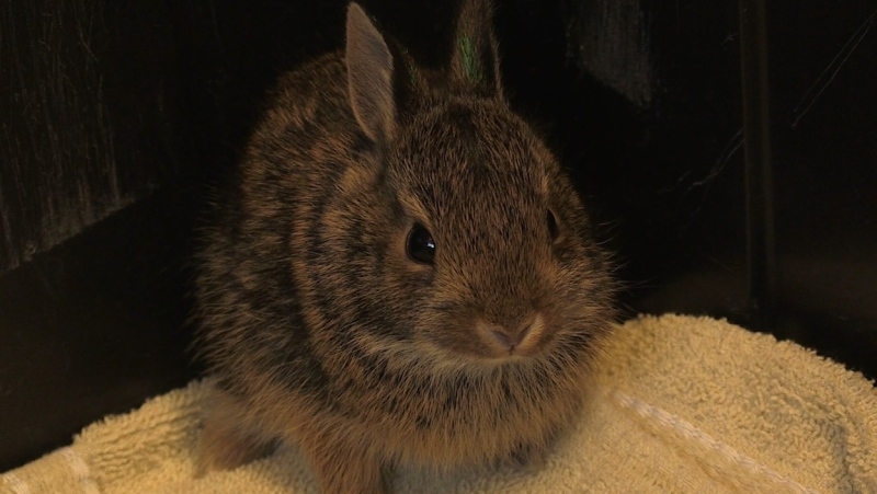 A young rabbit pictured here is not necessarily lost, says Brian Salt of Salthaven (Jordyn Read / CTV News)