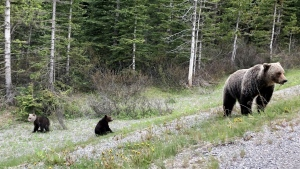 A group of grizzly bears including a grizzly cub with a white head and a brown body are shown in this handout image in Banff National Park provided by Julia Turner Butterwick. Parks Canada are asking people to visit responsibly, adhering to parking and COVID-19 guidelines while inside the park.  (Photo courtesy Julia Turner Butterwick/The Canadian Press)