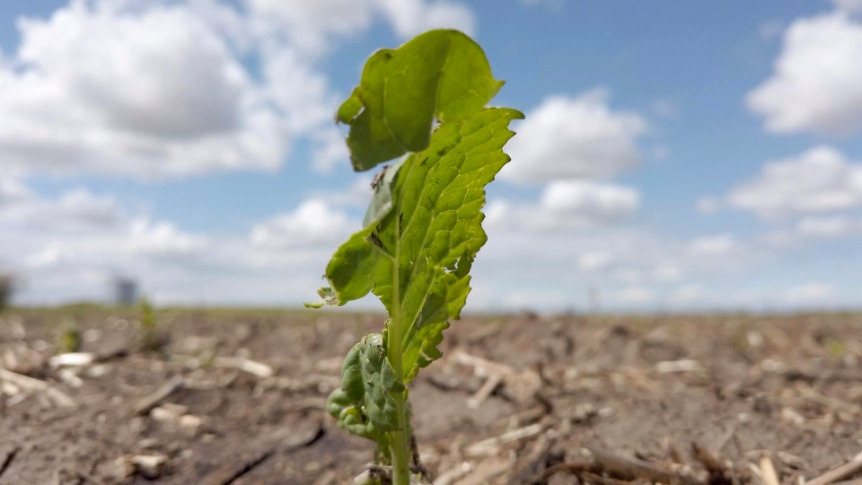 Some crops in southern Alberta were severely damaged in a weekend hailstorm.