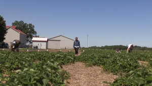 The McCorquodale family is getting Birch Creek Strawberry Farm ready for the season