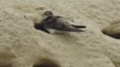 Bank swallow colony threatened by development