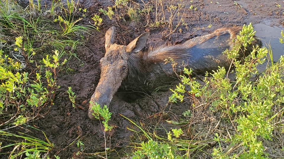 moose rescued from mud
