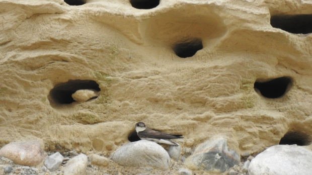 Bank swallows nesting at the Byron gravel pit in London, Ont. are seen in June 2020. (Source: Brendon Samuels)