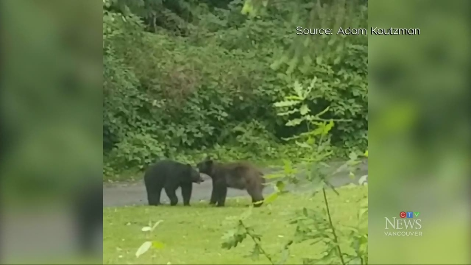 Bear cubs wrestle in North Vancouver