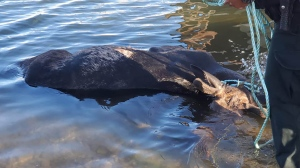 A dead moose is pulled from the water at New Brunswick's Parlee Beach after the animal drowned. (Gerald Robichaud/Facebook)