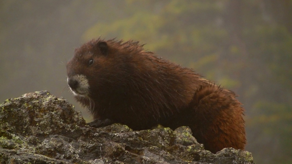 Members of the Marmot Recovery Foundation are taking extra measures to ensure staff and animals are safe from COVID-19: (Marmot Recovery Foundation)