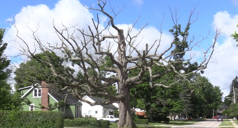 An oak tree believed to be 300 to 400 years old is seen in London, Ont. on Wednesday, June 24, 2020. (Celine Zadorsky / CTV News)