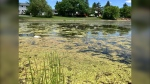The City of Winnipeg shut off about a dozen fountains in retention ponds this year, and residents in south Winnipeg are concerned about the growth of algae in the ponds. (CTV News Photo Jon Hendricks)