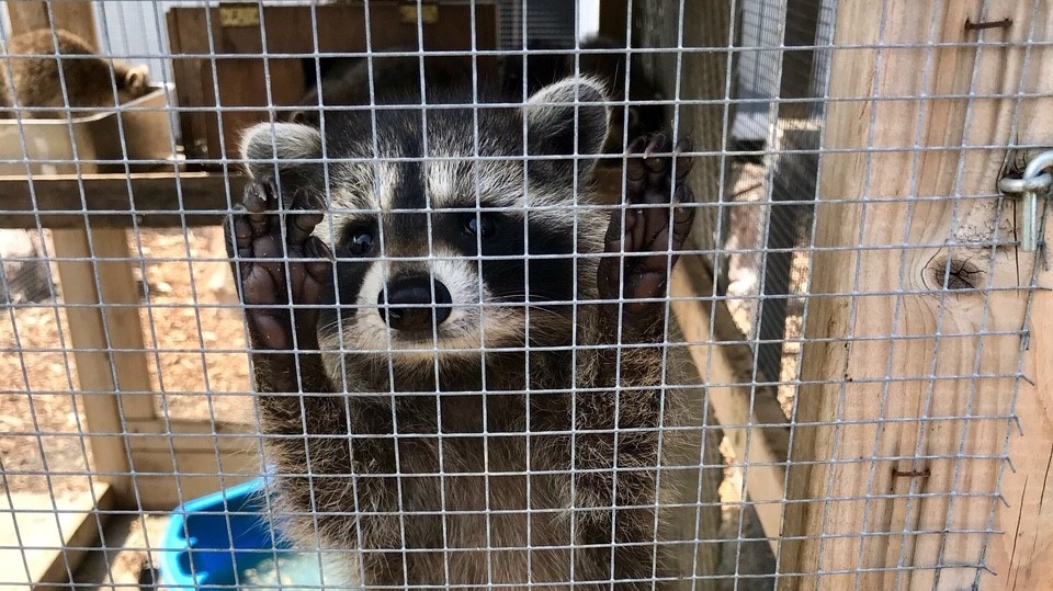 "Rocky"", a baby orphaned raccoon from London"