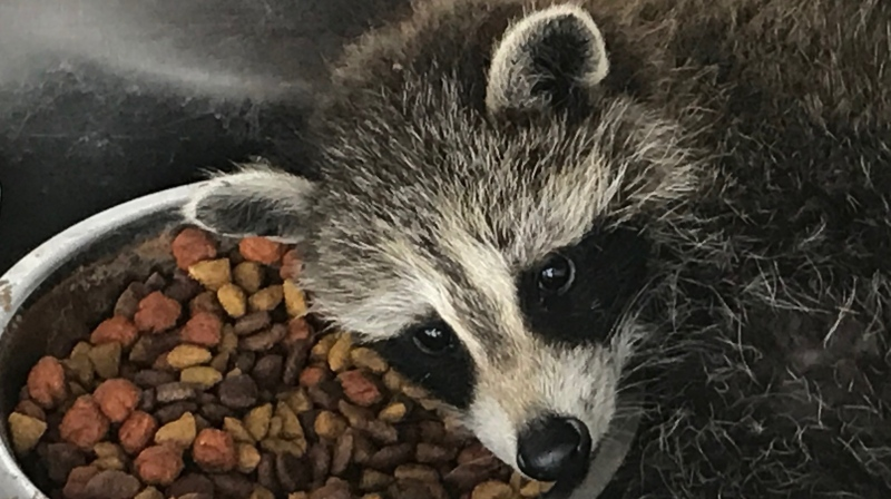 One of two raccoons found by London city workers at a sewage treatment plant prepares to nap while recovering at Heaven's Wildlife Rescue  (Sean Irvine / CTV News)