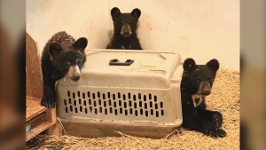 The three orphaned bears. (Source: Black Bear Rescue Manitoba)