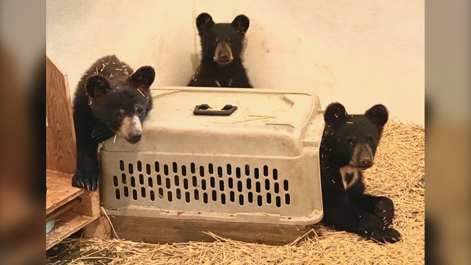 The three orphaned bears. (Source: Black Bear Rescue Manitoba)