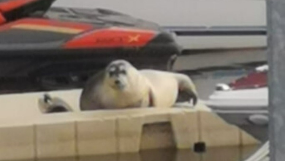 Bearded seal shows up in Laval