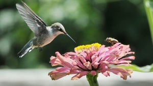In this Aug. 4, 2015, file photo, a hummingbird and a bee pollinate a flower at the Veterans Therapeutic Gardens in Caldwell, Idaho. (Adam Eschbach, The Idaho Press-Tribune via AP, File)