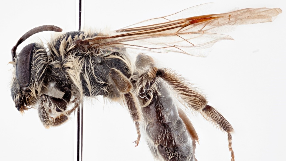 Researchers at the Royal Saskatchewan Museum have named a new bee species after astronaut Chris Hadfield. (Source: Royal Saskatchewan Museum)