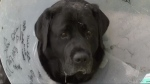 Bear's owners discovered his injuries on Saturday and rushed him to the vet. (CTV News)