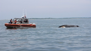 The USCG Sandy Hook and AMSEAS staff work to tow the North Atlantic Right Whale calf to shore after it died apparently by being hit by a boat. SOURCE Marine Mammal Stranding Center