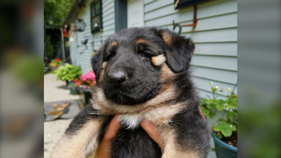 GS Puppy
