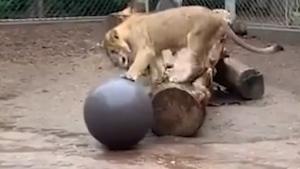 Tatu the lion cub in Denver has a 'ball'