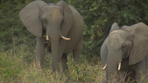More than 360 elephants have died in mysterious circumstances in Botswana in the past three months, according to local conservationists. (CNN)